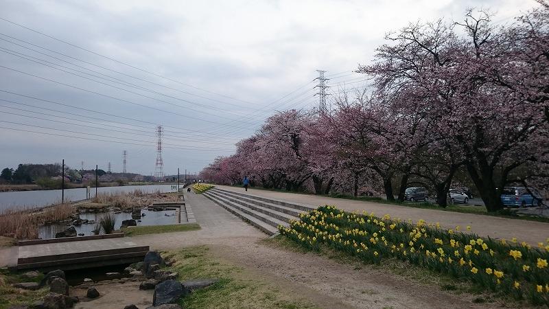 小山市 大沼公園 桜