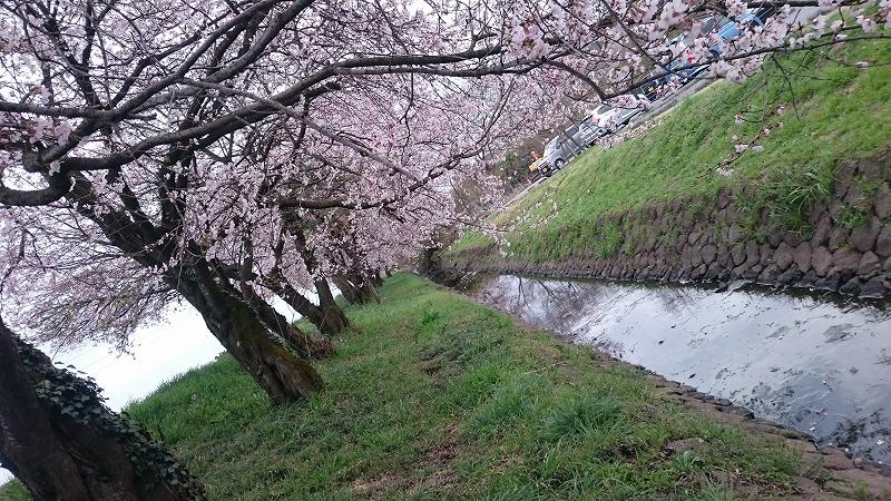 大沼公園 桜