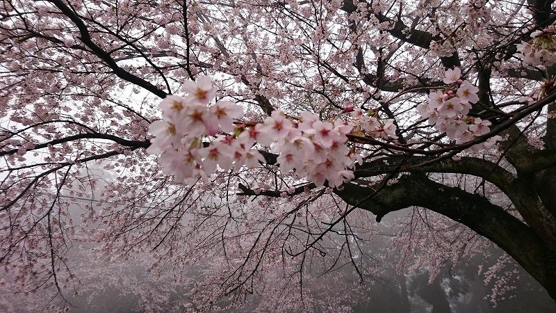 太平山 桜