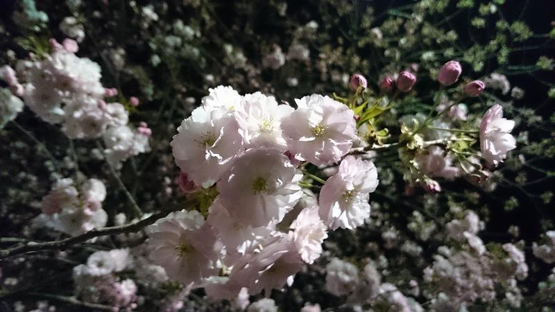 天平の丘公園 八重桜